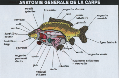 anatomie-carpe.png